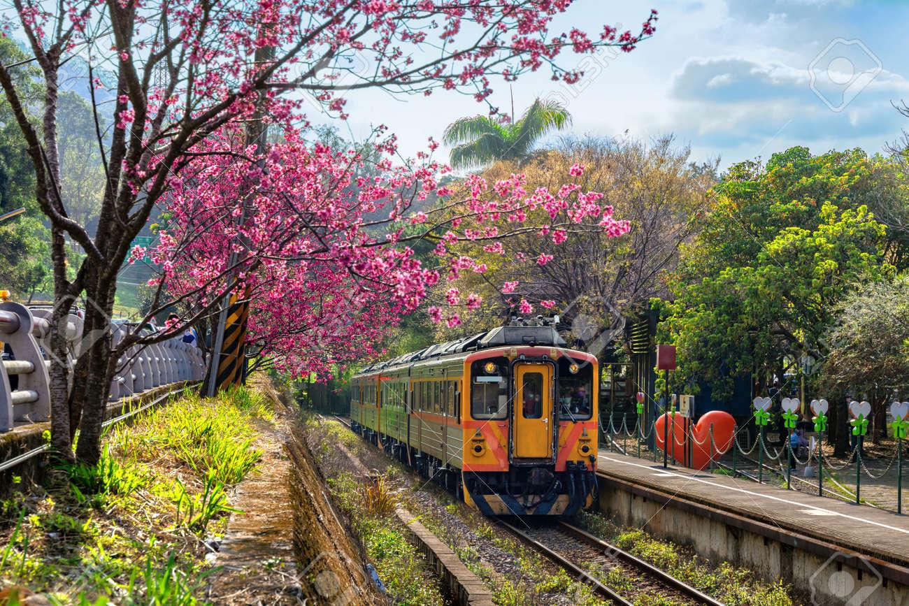 Train with cherry blossom at Neiwan railway in Hsinchu, Taiwan. - 167618084