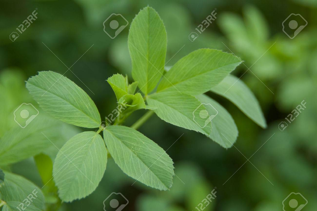 A few sprigs of alfalfa leaves - 33803041