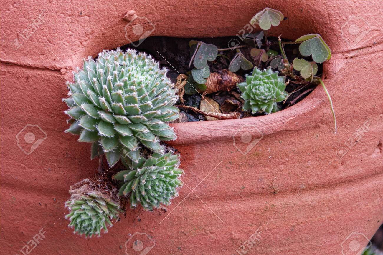 A Background Of Hens And Chicks Succulent Plants In A Clay Pot