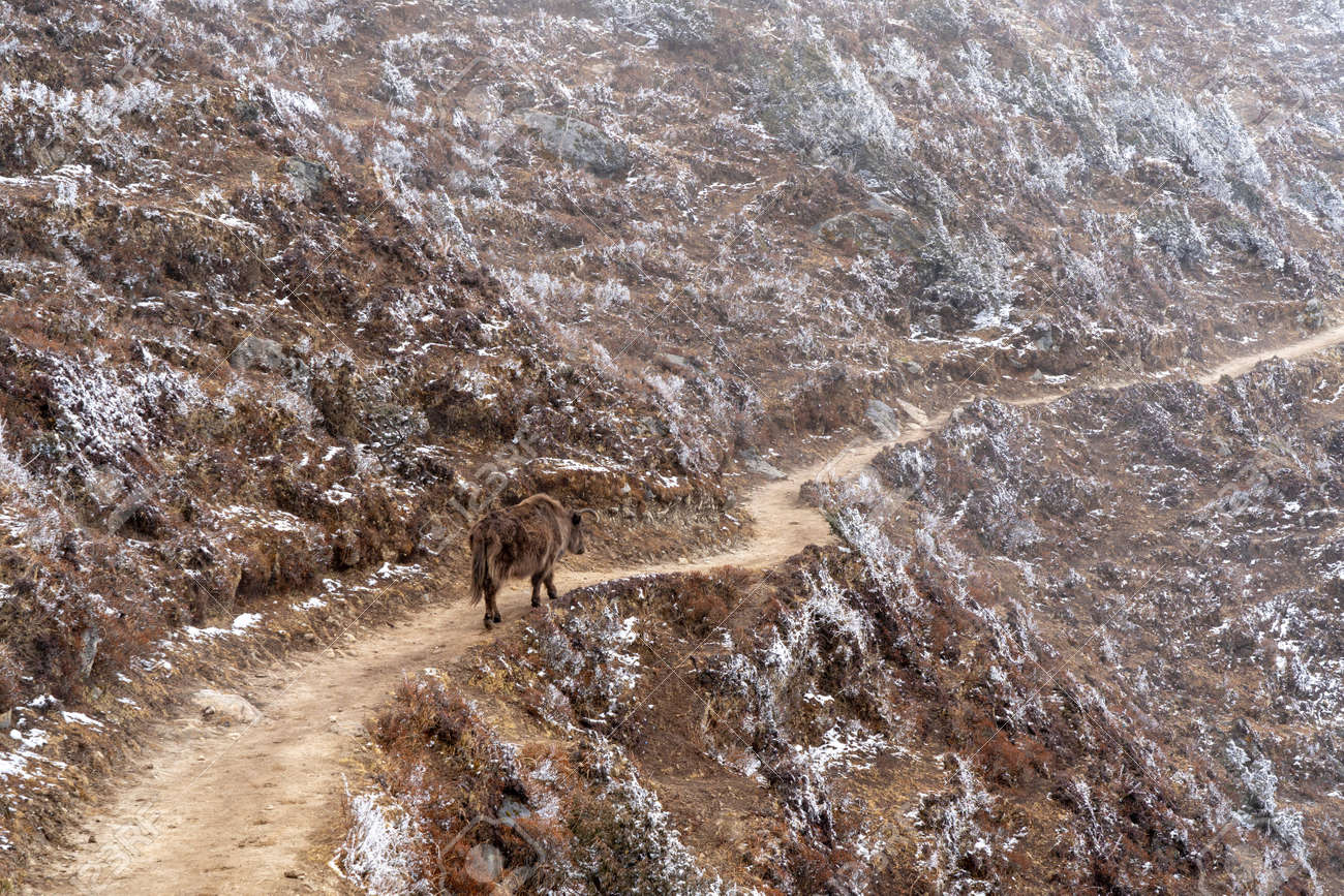 A yak walking on a mountain trail with snow lying on the hillside. - 169836080