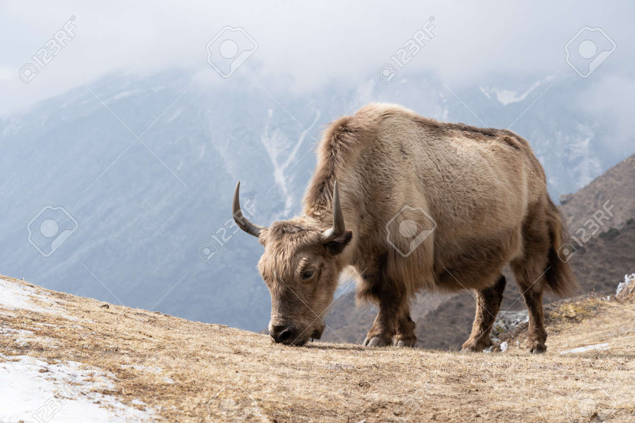 A domesticated yak grazing in the Himalaya highlands of Nepal. - 169836100