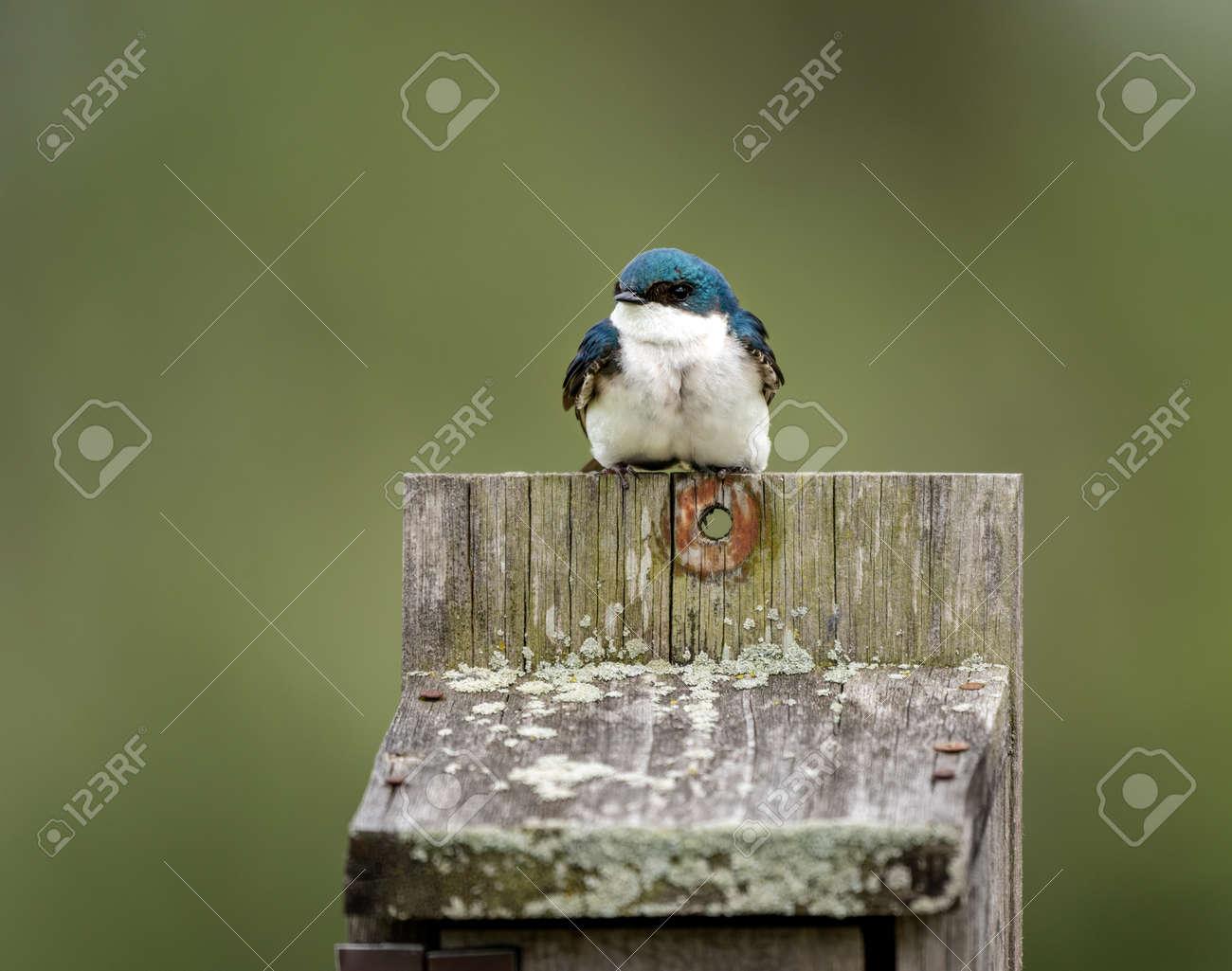 A tree swallow sitting on a birdbox. - 169836104