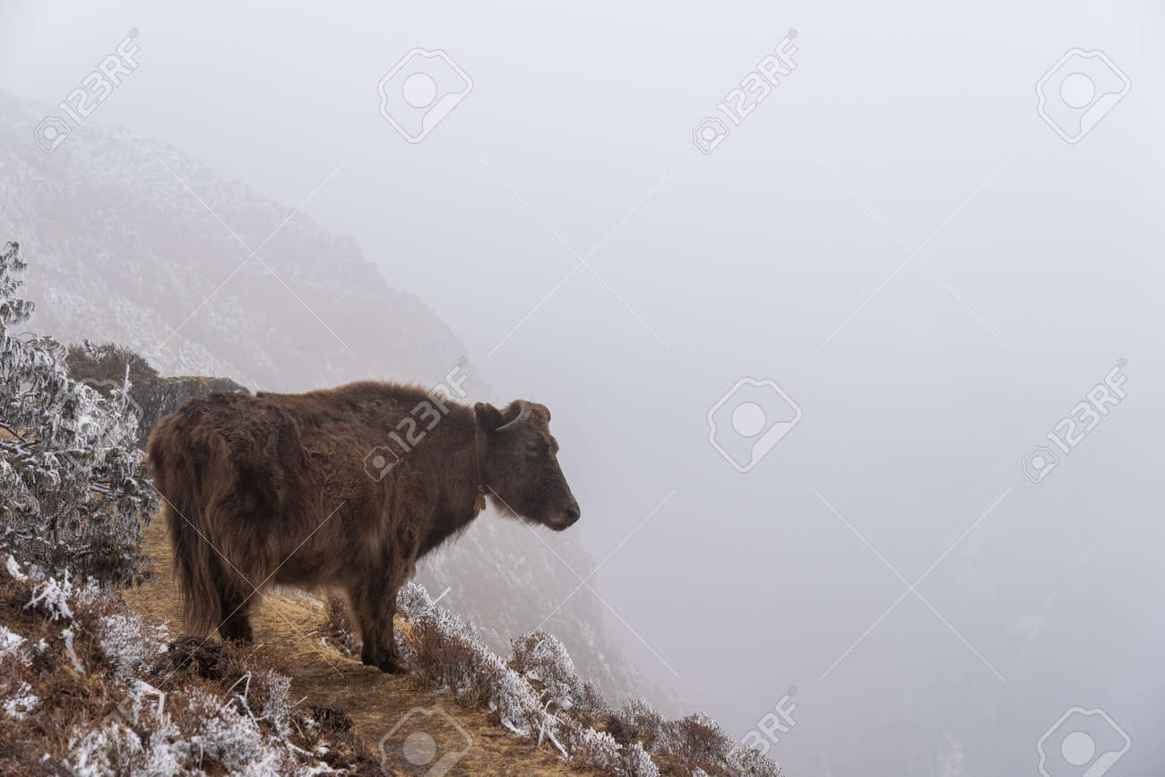 A yak standing on a trail on the edge of a cliff looking into the fog. - 169836117