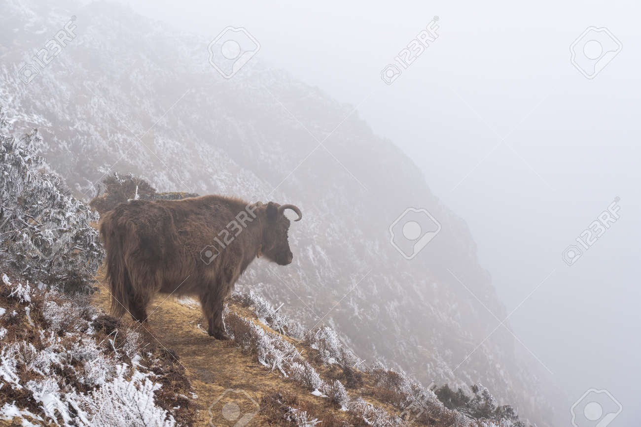 A yak standing on a trail on the edge of a cliff looking into the fog. - 169836131