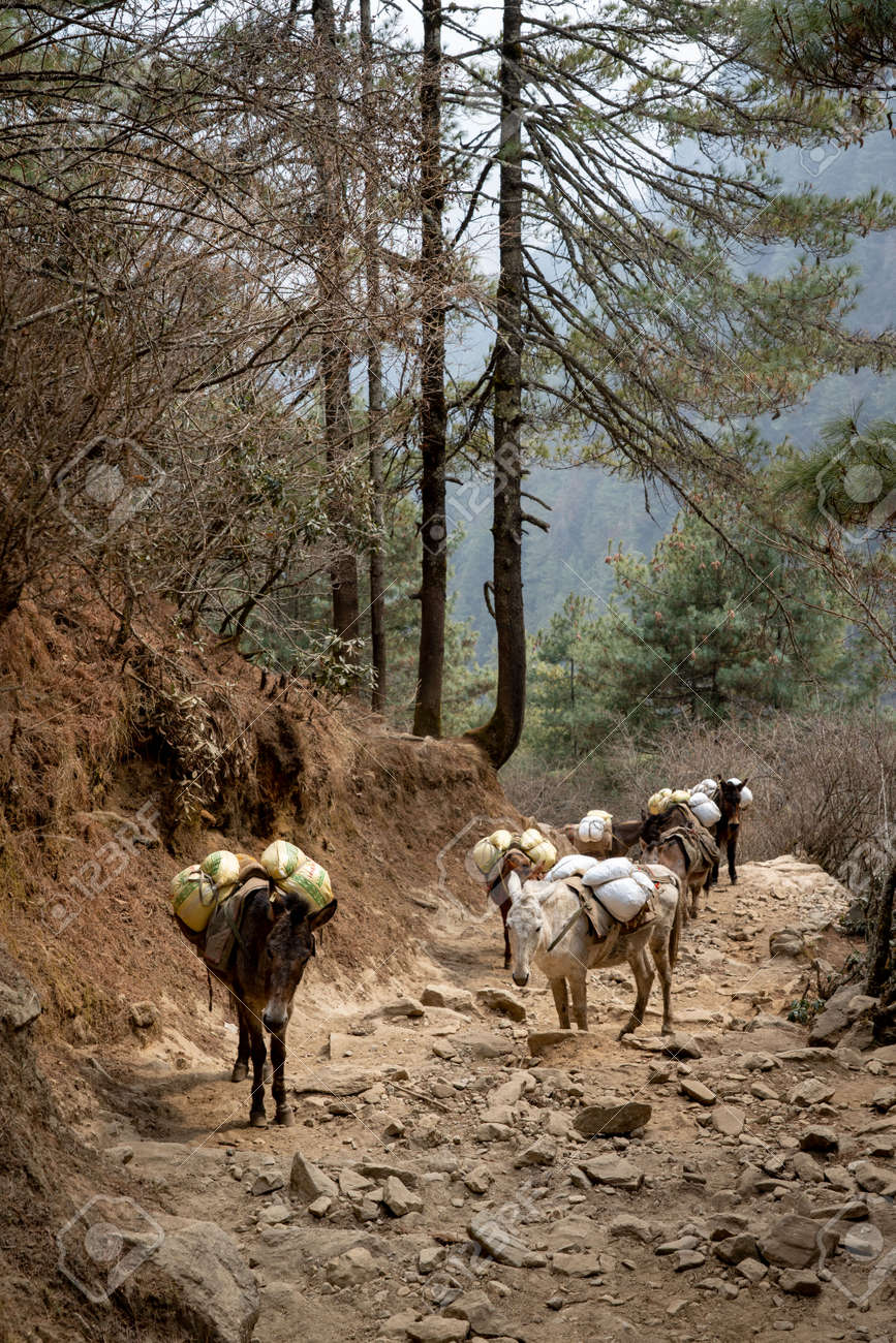A Mule Train in the Himalayan Mountains of Nepal. - 169836154