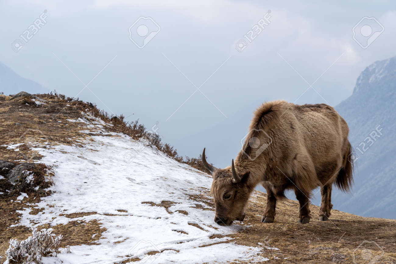 A domesticated yak grazing in the Himalaya highlands of Nepal. - 169836177