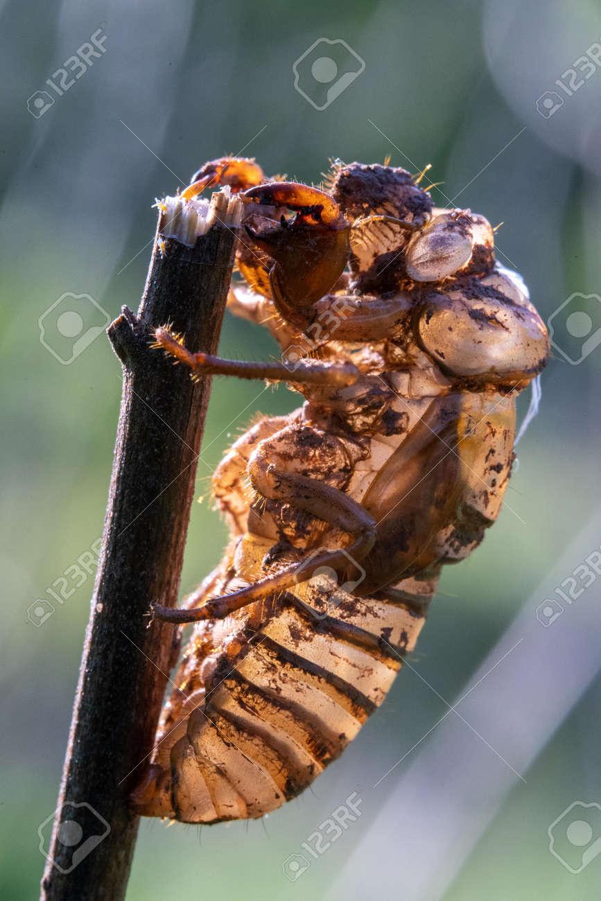 An empty locust shell on a broken grass stem. - 170388676