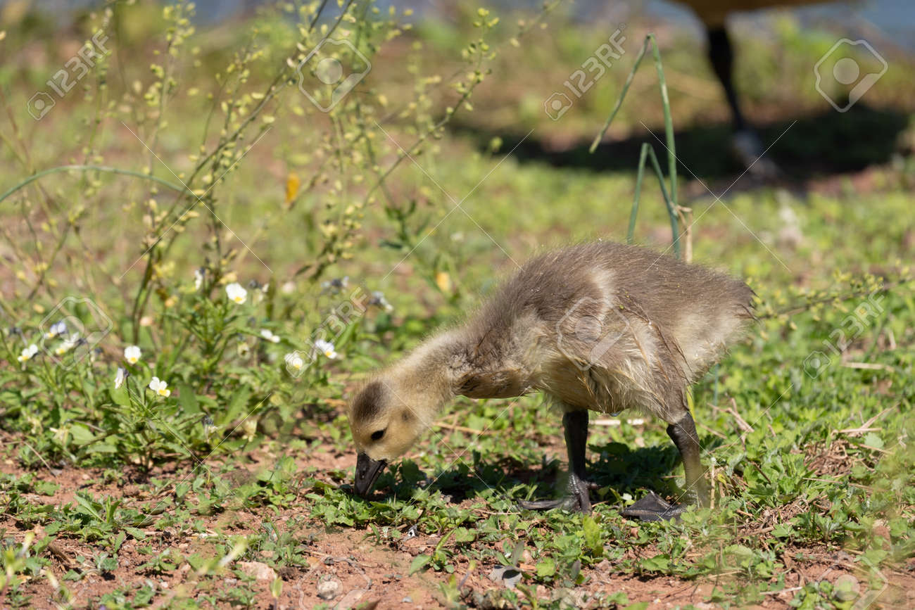 A canada goose gosling on the shore of a lake. - 170388677