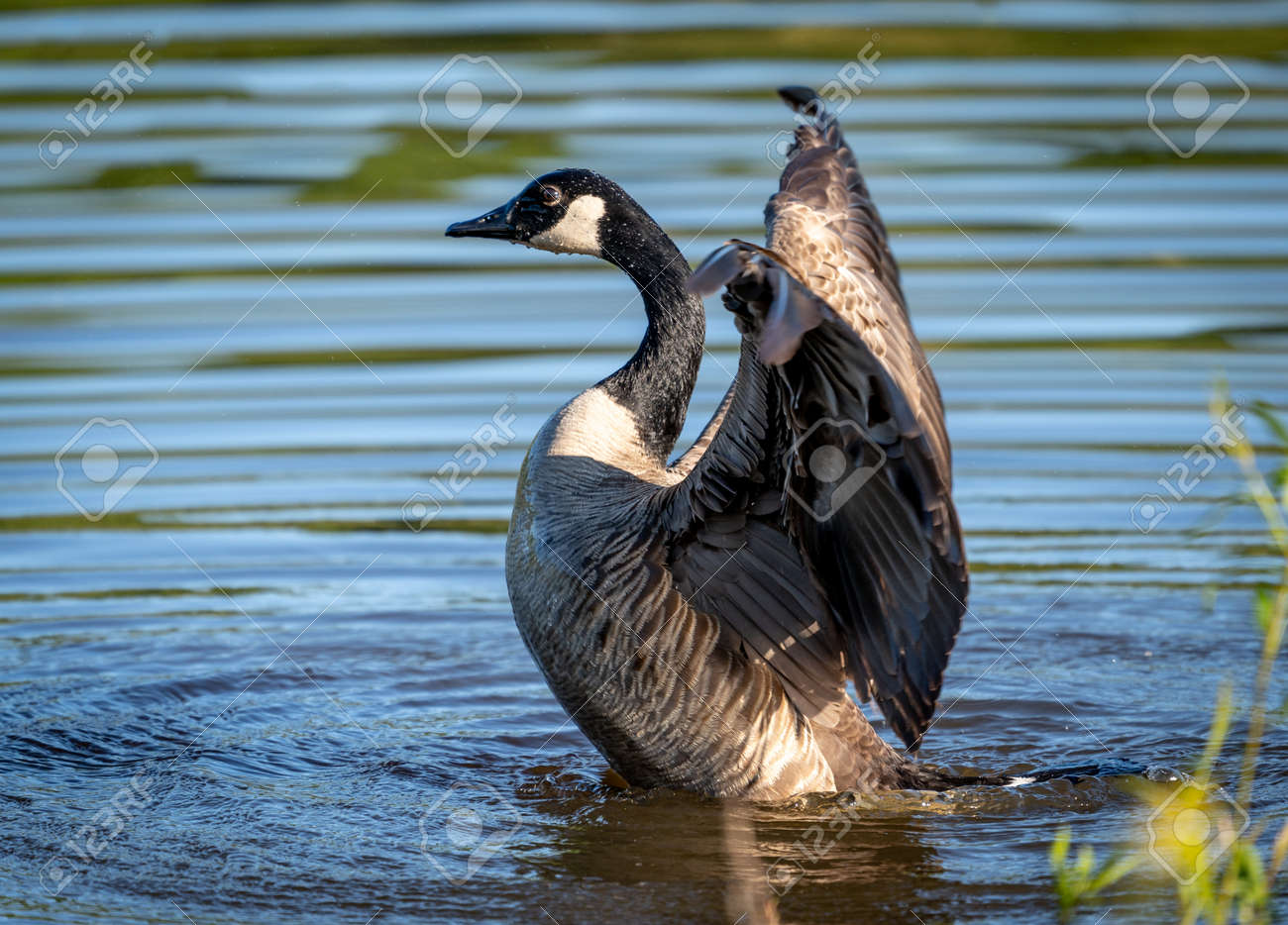 A Canada Goose flapping its wings in a lake. - 170388682