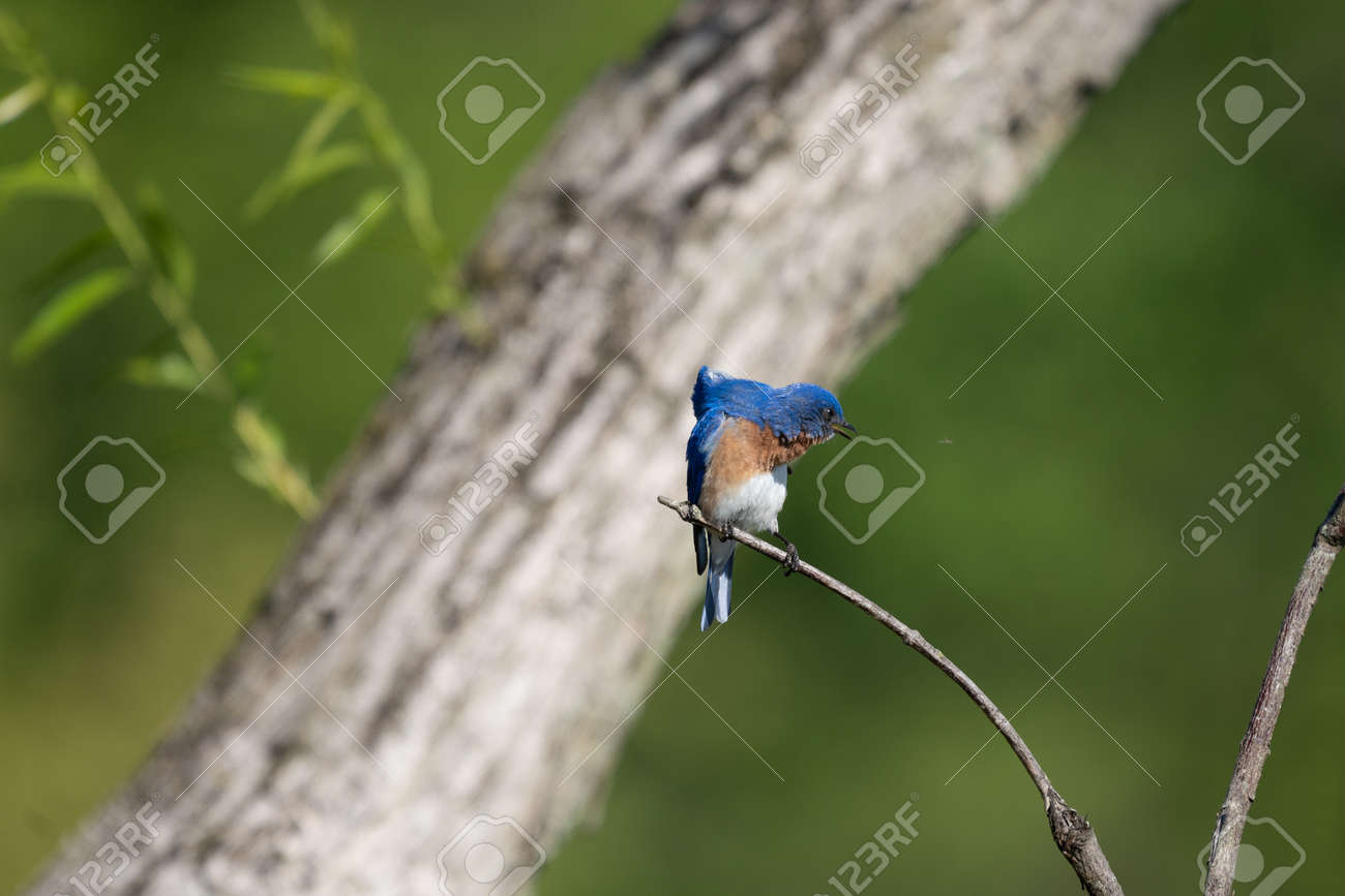 An eastern bluebird sitting on a branch and watching an insect in flight. - 170388683