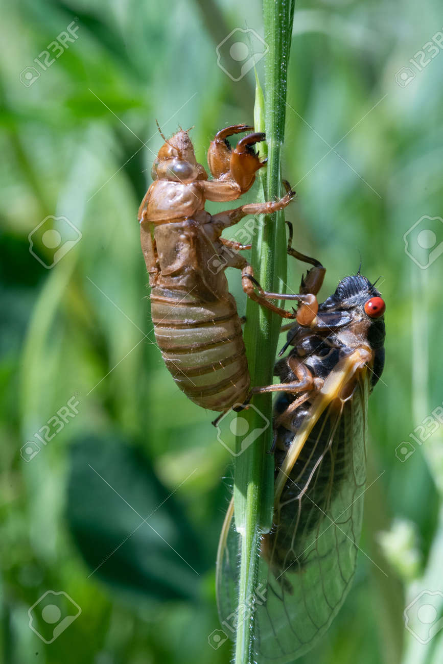 An Empty Locust Shell and Hatched Locust on a blade of grass. - 170388685