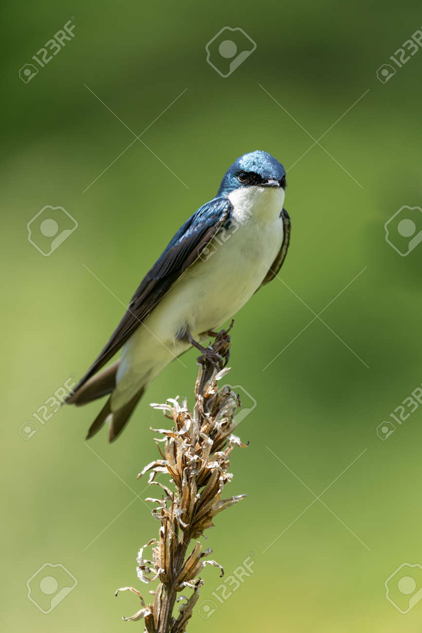 A Tree Swallow Perched on Weed in a field. - 170388693