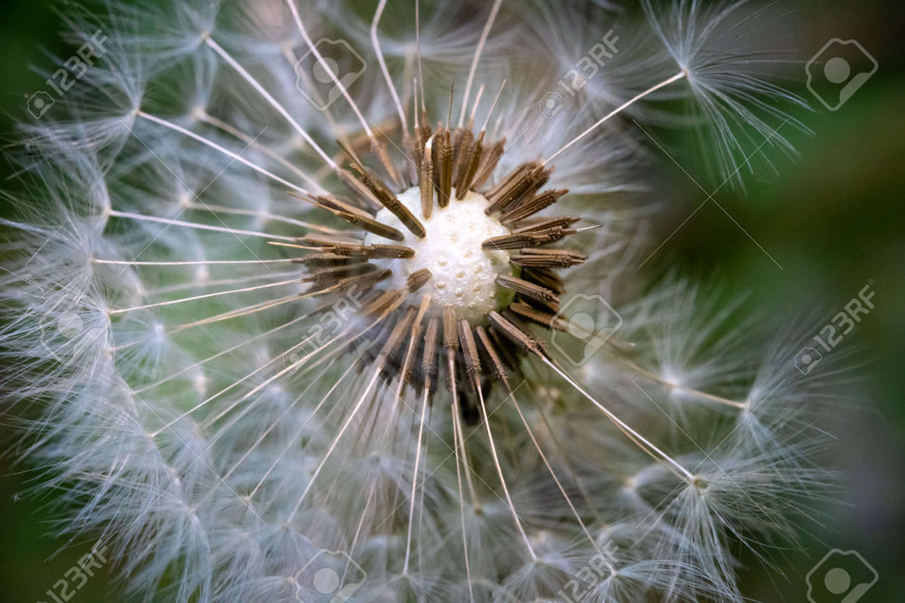 A dandelion ball with the seeds starting to leave. - 170388766