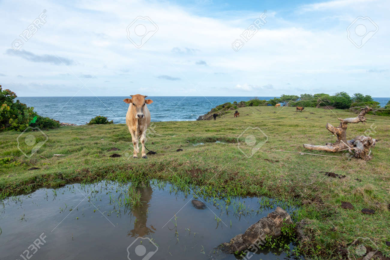 A Cow tied in a pasture by the side of a sea in the evening light. - 171189574