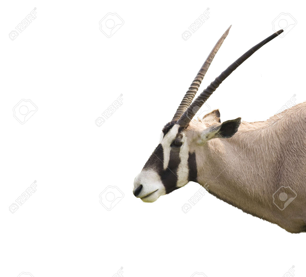 An oryx antelope isolated and in profile Stock Photo - 481692
