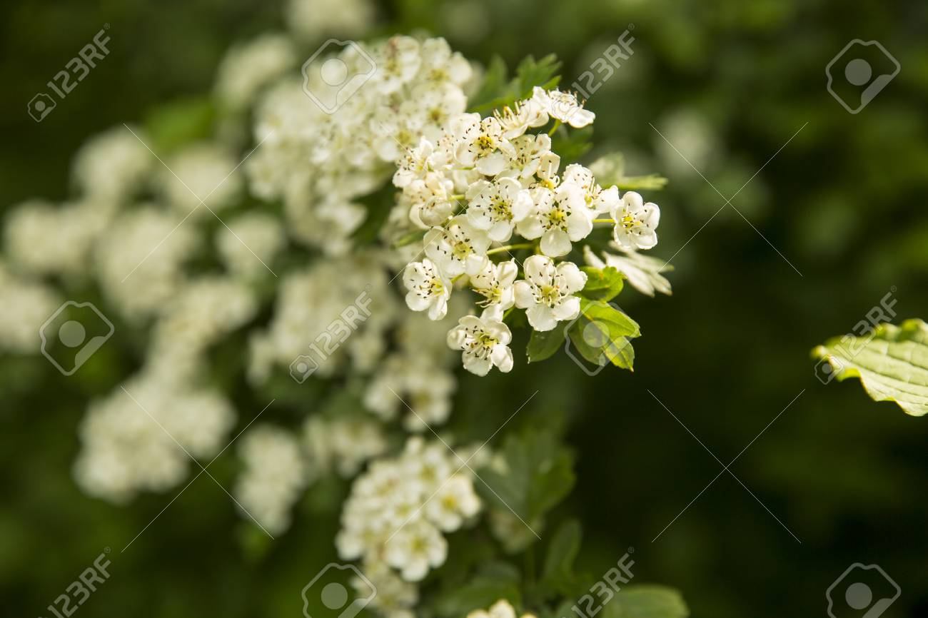 Close Up On A Shrub With Green Leaves And White Flowers Blooming