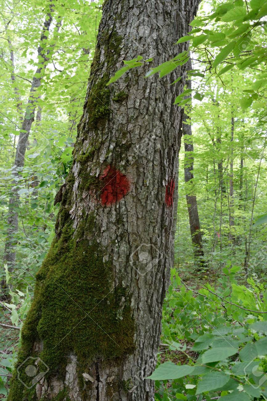 Sugar Maple Acer Saccharum Marked As Timber Sale Boundary Tree Stock