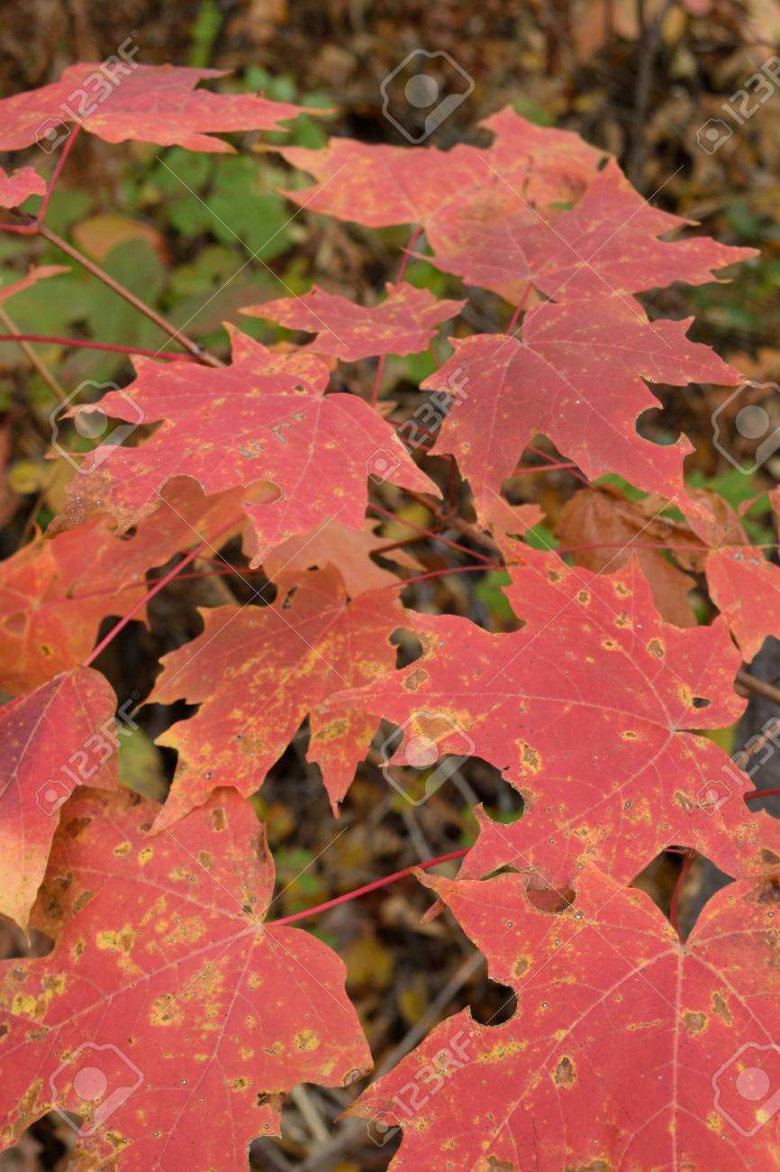 Sugar Maple Acer Saccharum Leaves Showing Fall Colors Stock Photo