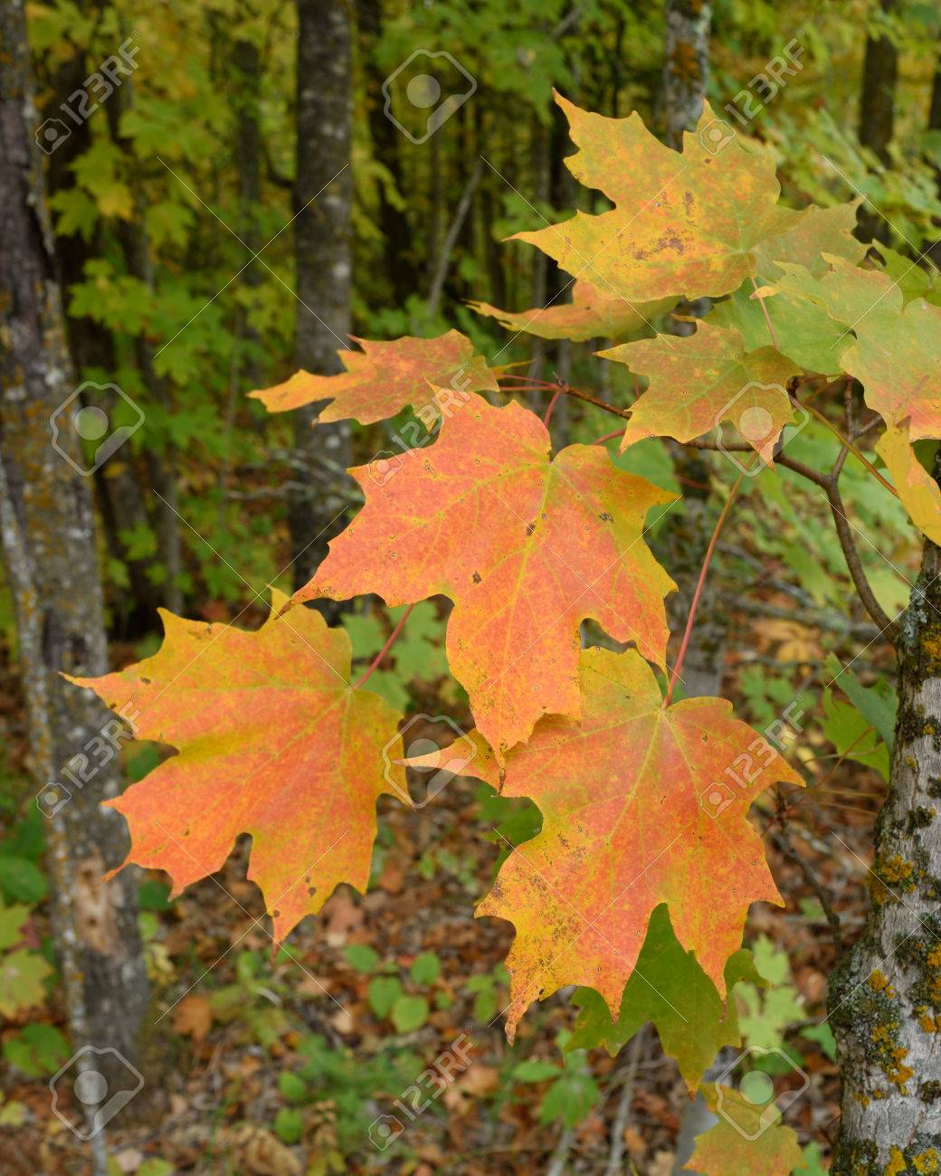 Sugar Maple Acer Saccharum With Colorful Fall Leaves Stock Photo