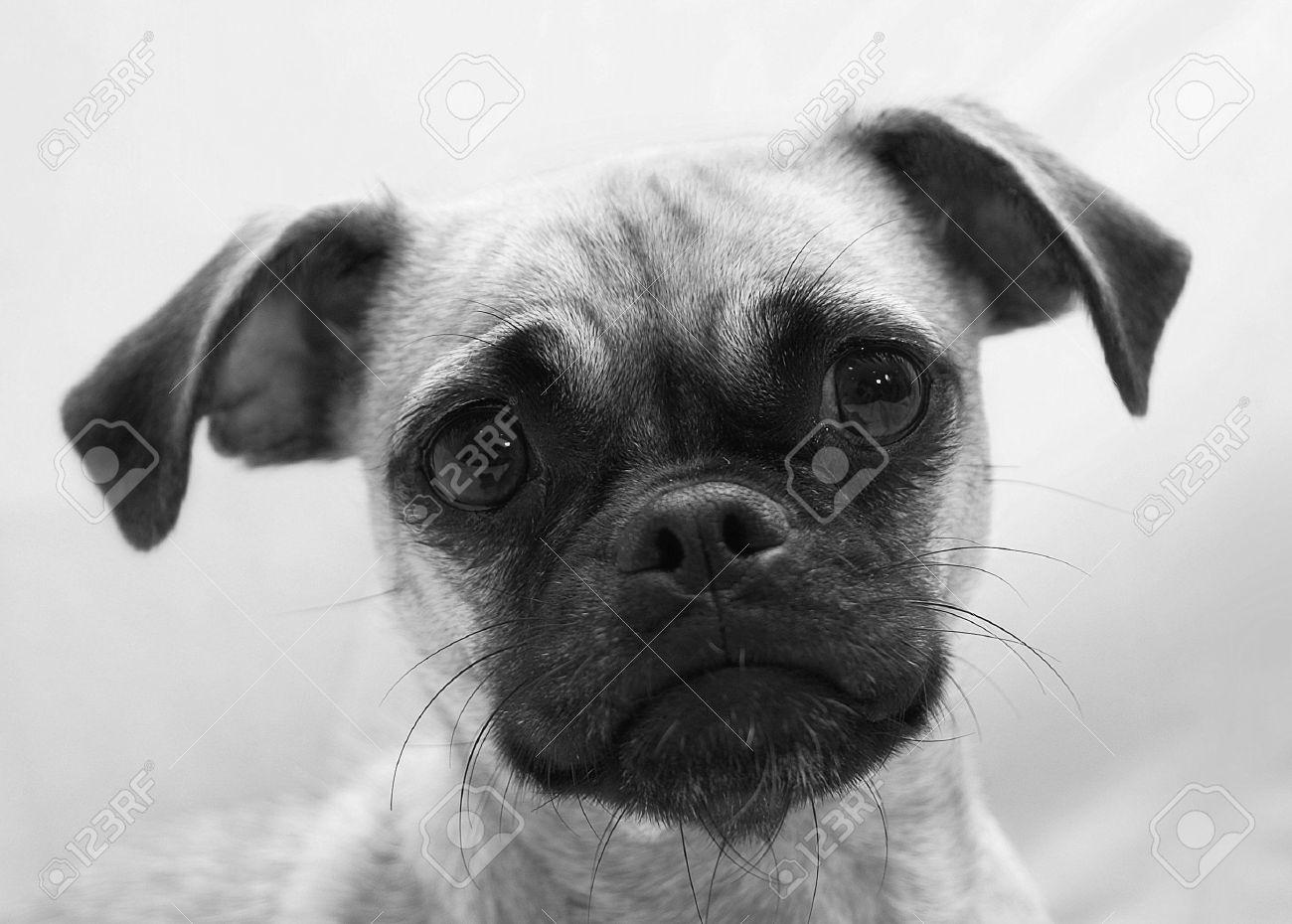 Adorable Chihuahua Pug Mix Puppies