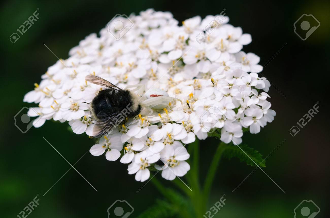 ヤロー工場でマルハナバチを食べる白い花蜘蛛 の写真素材・画像素材 ...
