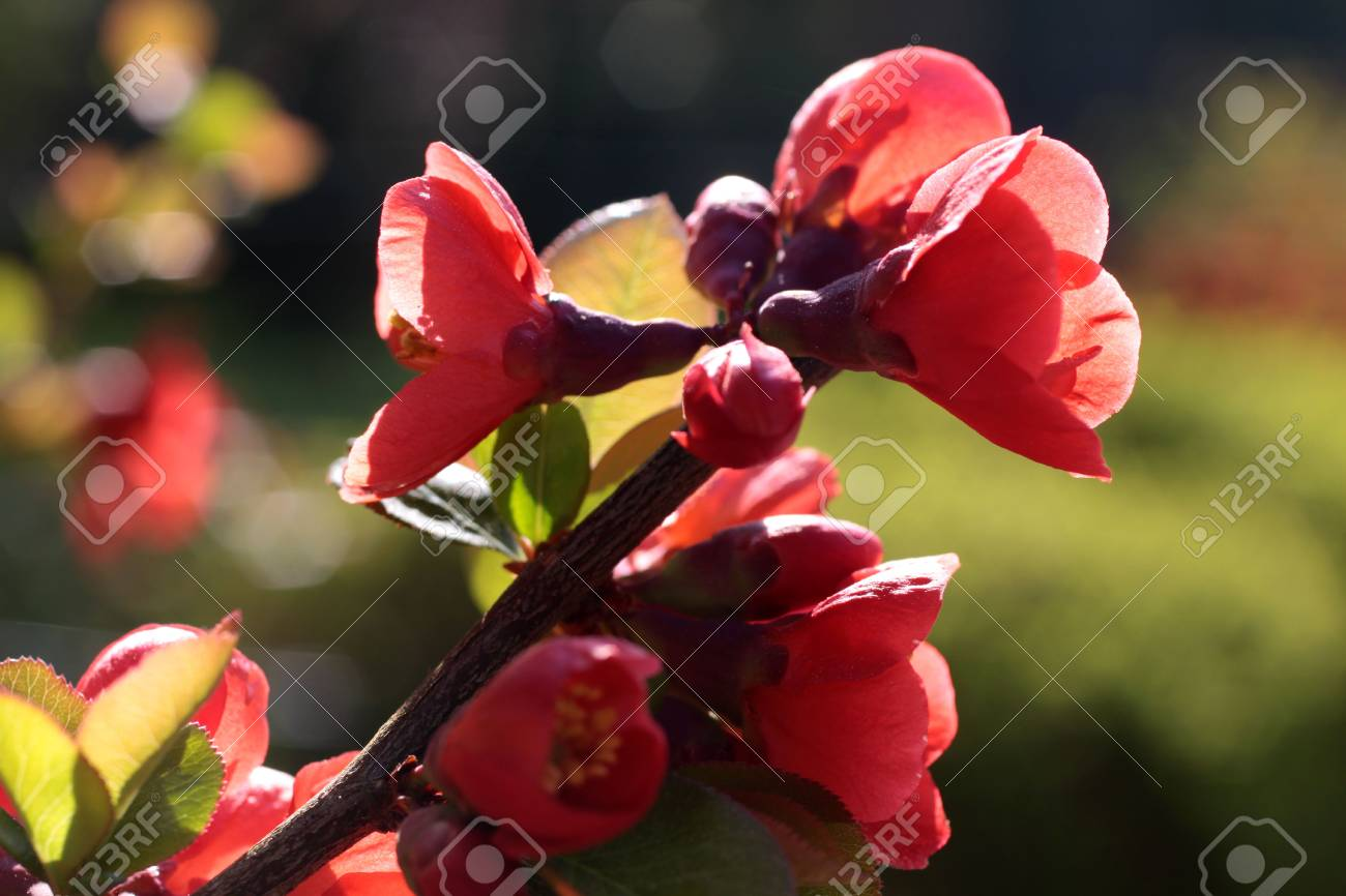 Red blooms in the garden at spring time Stock Photo - 5586162