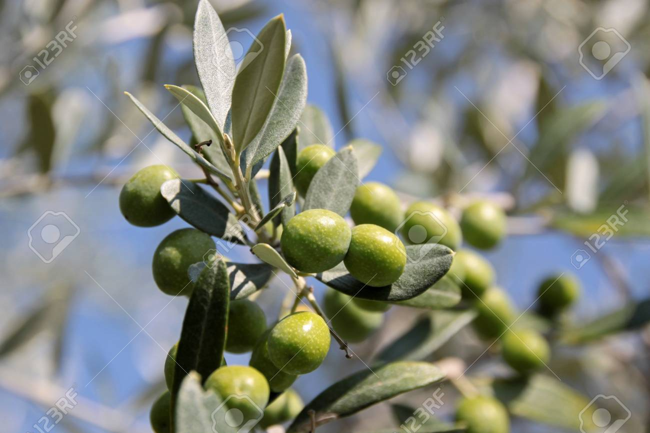 Green olives on the tree in an olive grove in Tuscany Stock Photo - 7760208