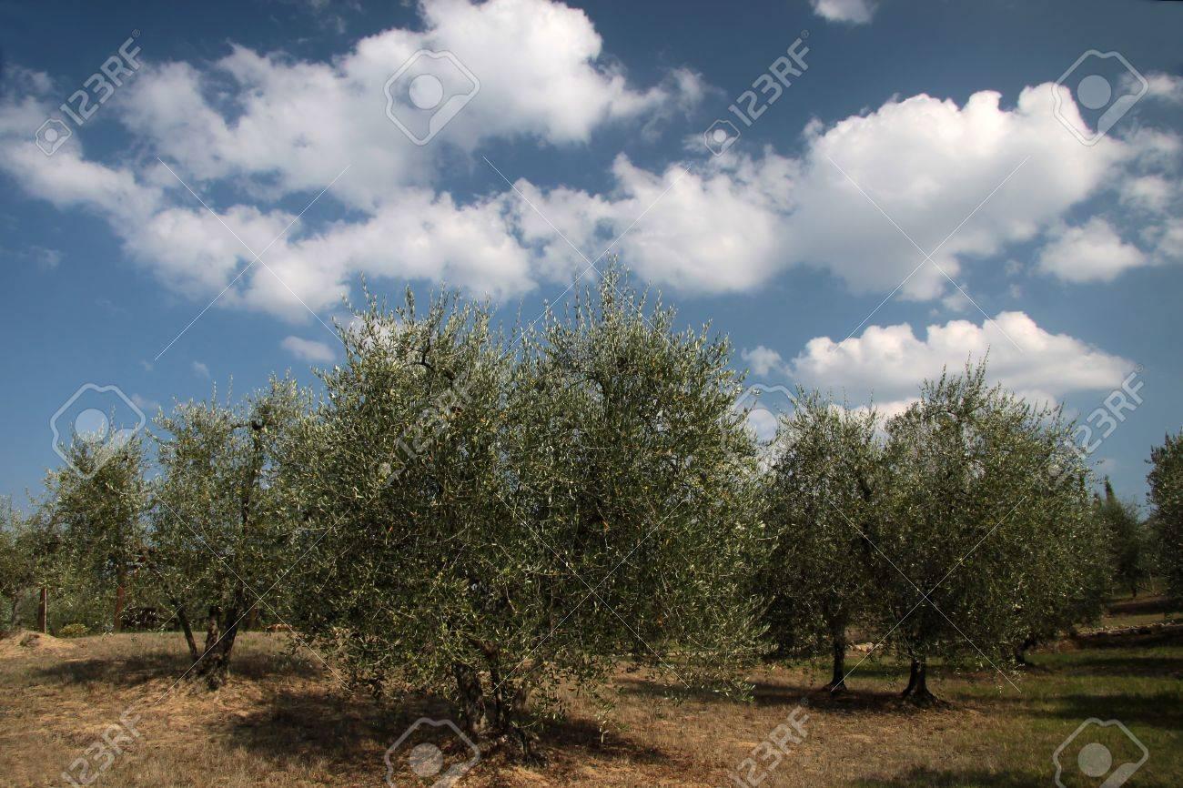 Olive grove in Gambassi Terme in Tuscany, Italy Stock Photo - 7859860