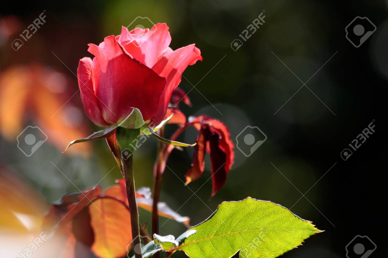 Red rose in the Botanic Gardens, Canterbury, South Island,  New Zealand Stock Photo - 14188028