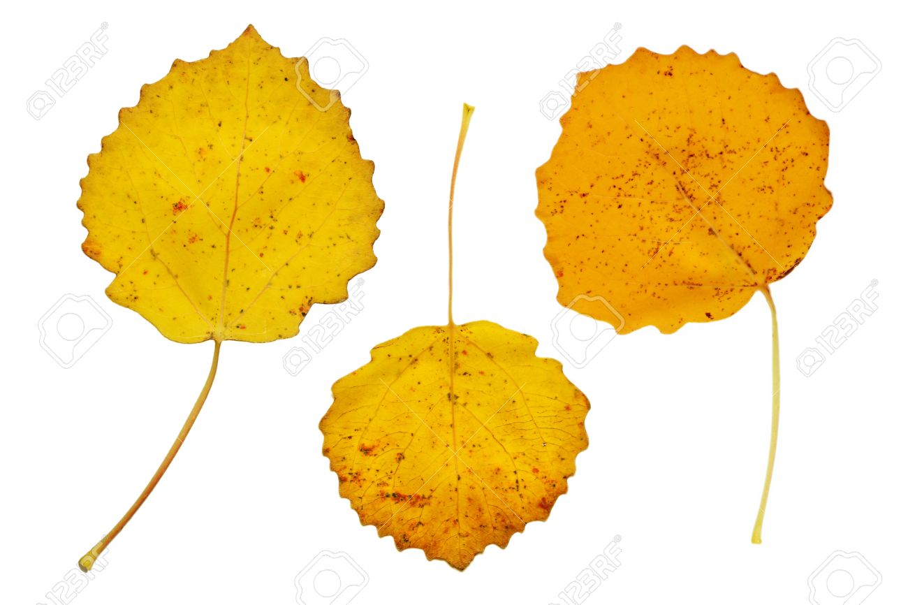 three yellow autumn leaves of the aspen tree stock photo picture