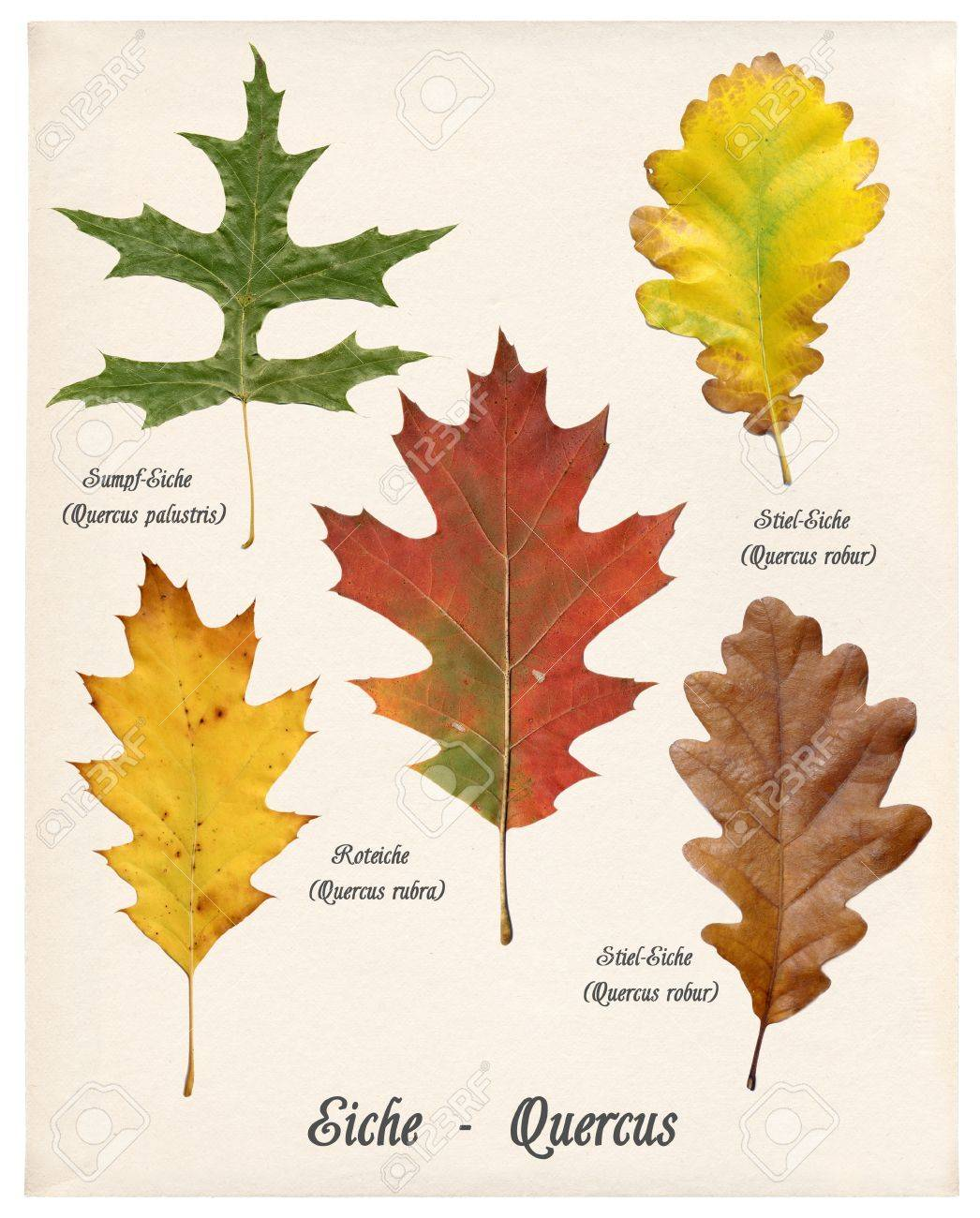 collage with various colorful autumn leaves of oak trees on old