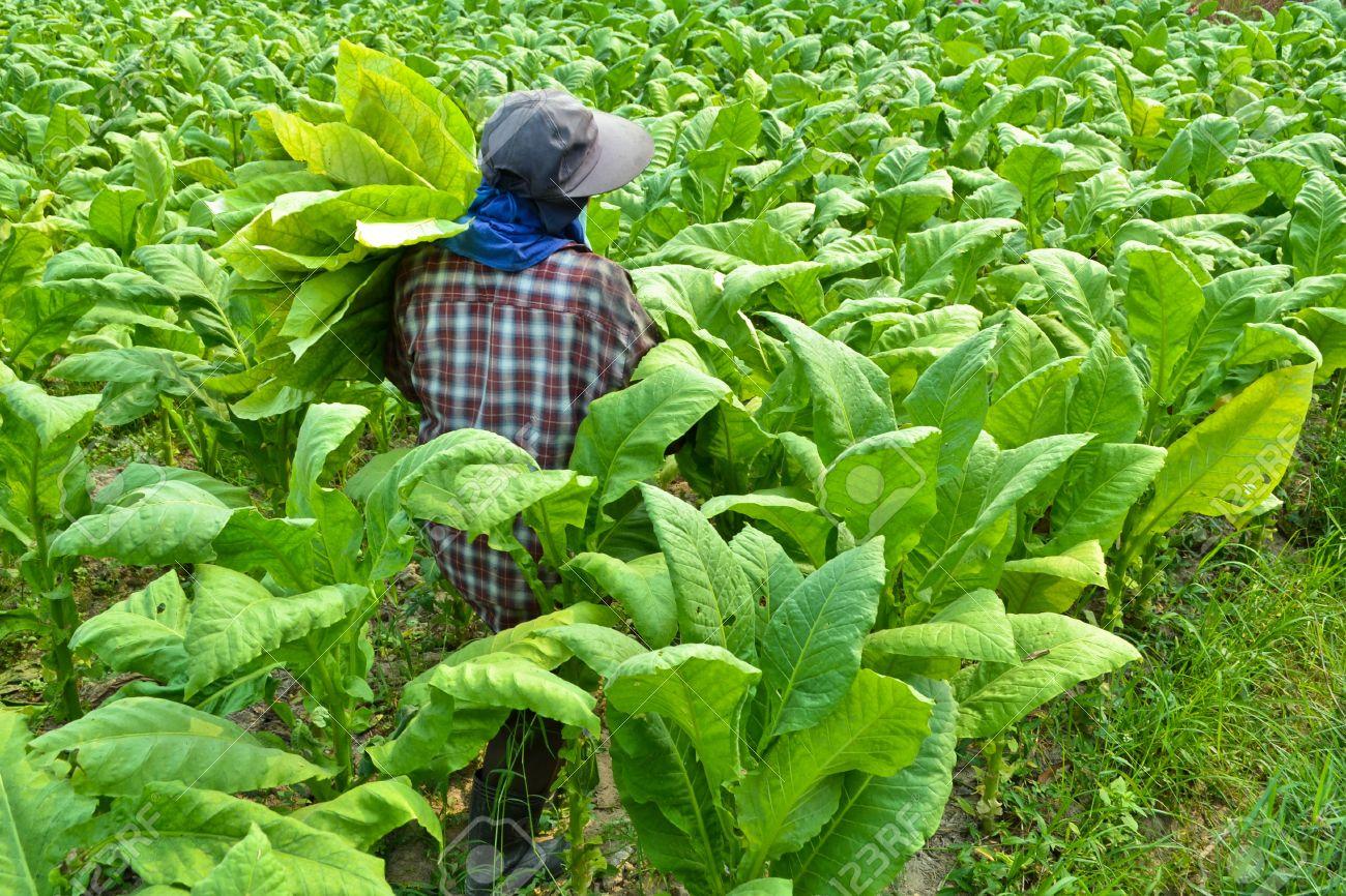 Yaprak tütün Yeşil tütün