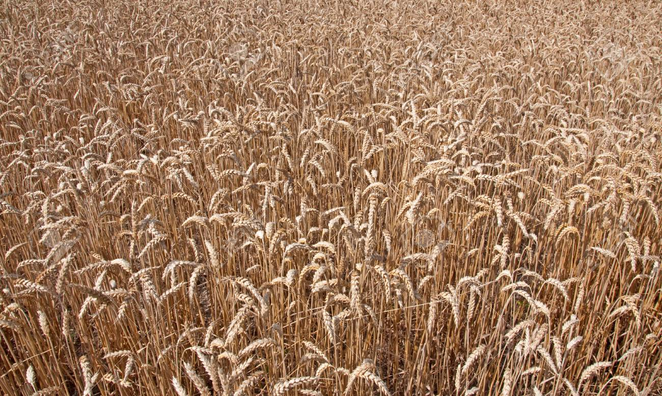 Wheat field background Stock Photo - 9646434