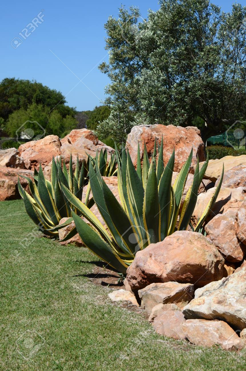 Mediterranean Garden With Aloe Plants And Rocks Stock Photo   58602543