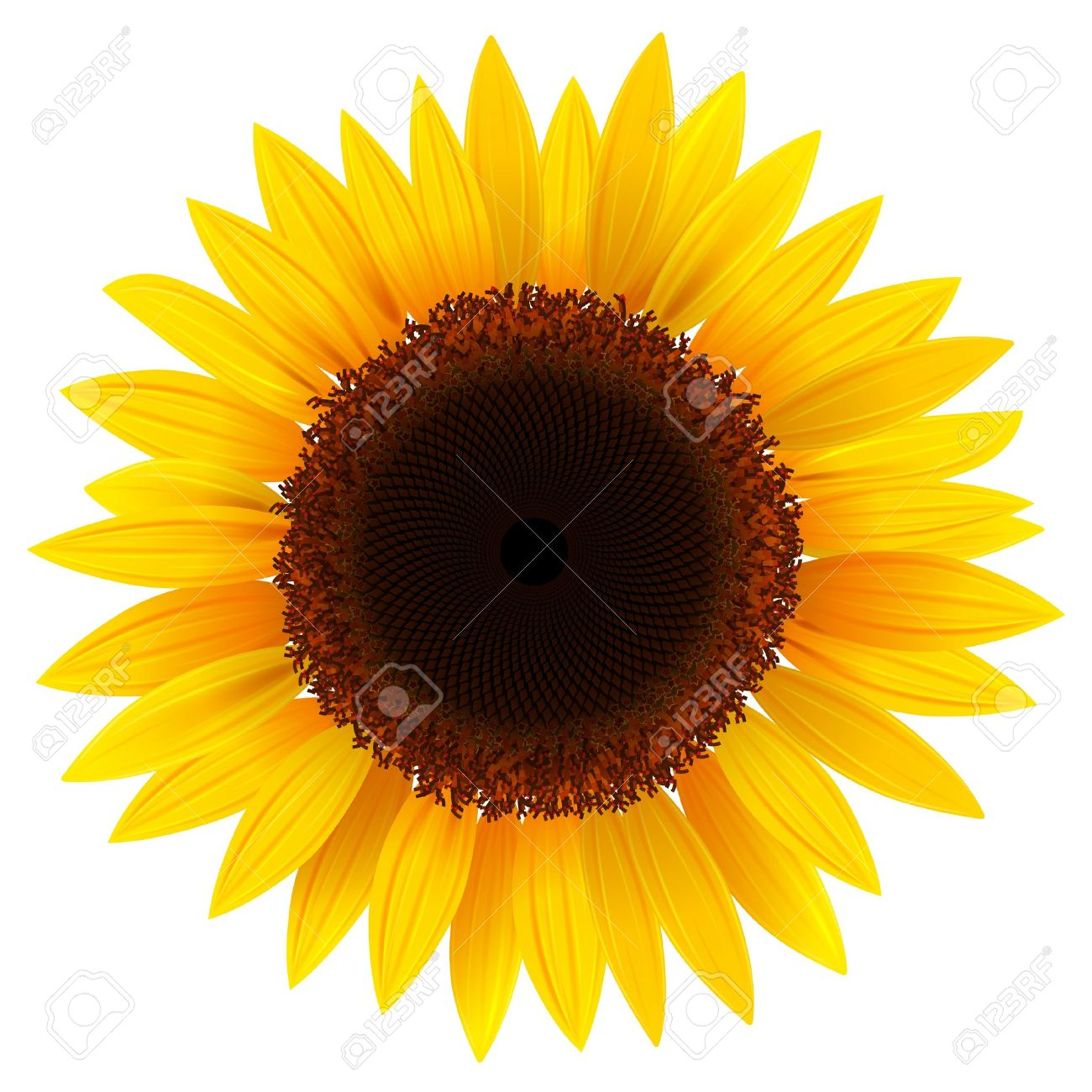 vector sunflower realistic illustration royalty free cliparts rh 123rf com sunflower vector free download sunflower vector free download