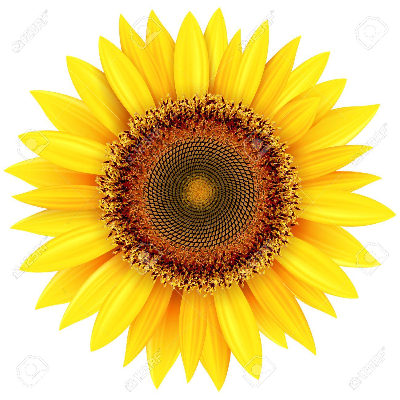 Sunflower isolated, vector illustration. - 44844911