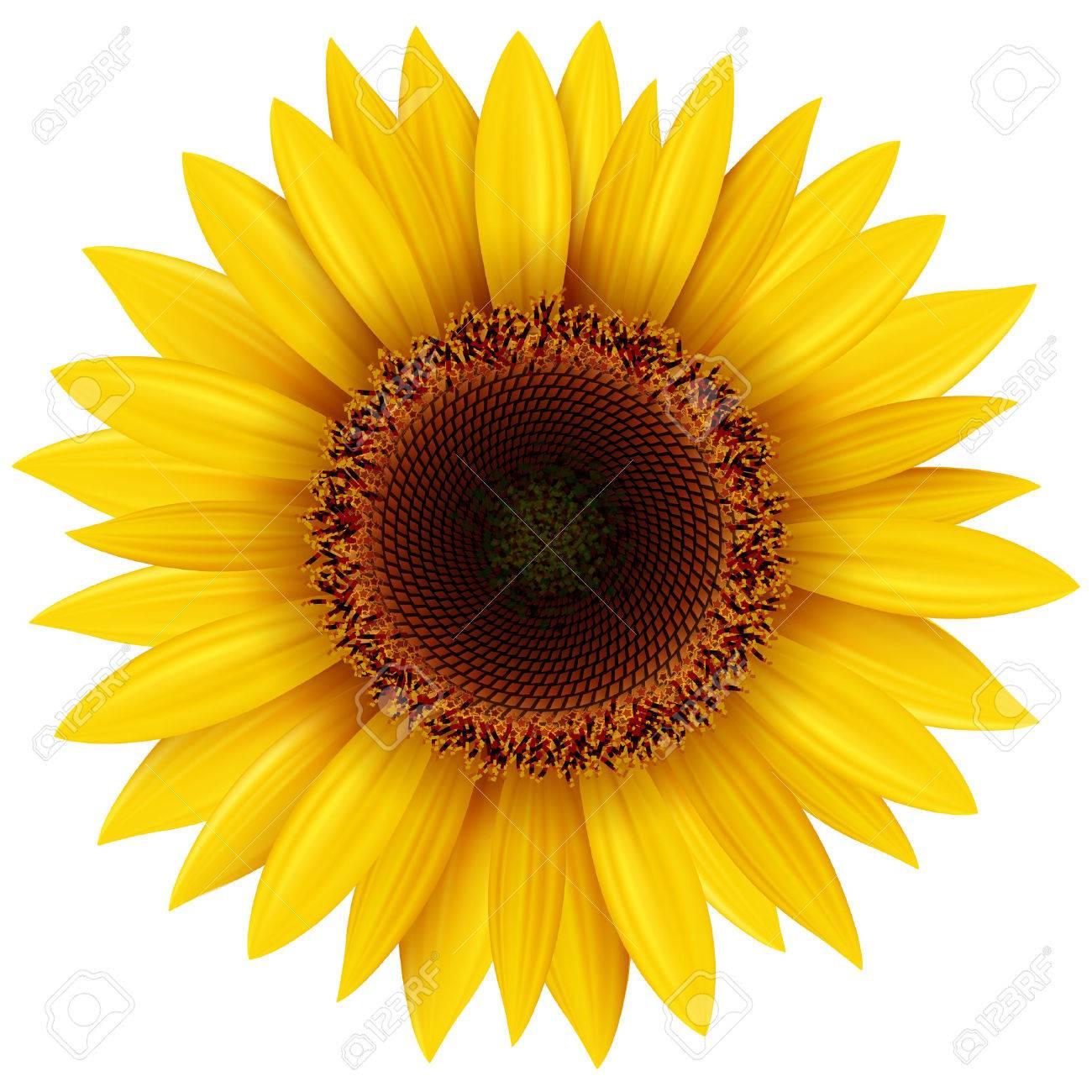 Sunflower isolated, illustration. - 46956103