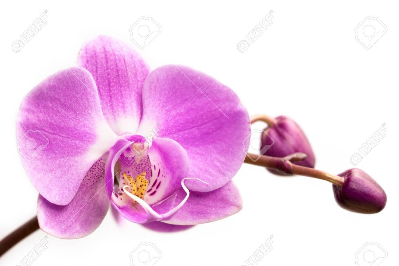 Fleur D Orchidee Rose Sur Un Fond Blanc Fleur D Orchidee Isole