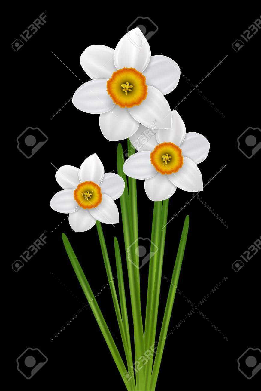 Flowers narcissus bouquet spring white flower on black vector flowers narcissus bouquet spring white flower on black vector illustration stock vector mightylinksfo