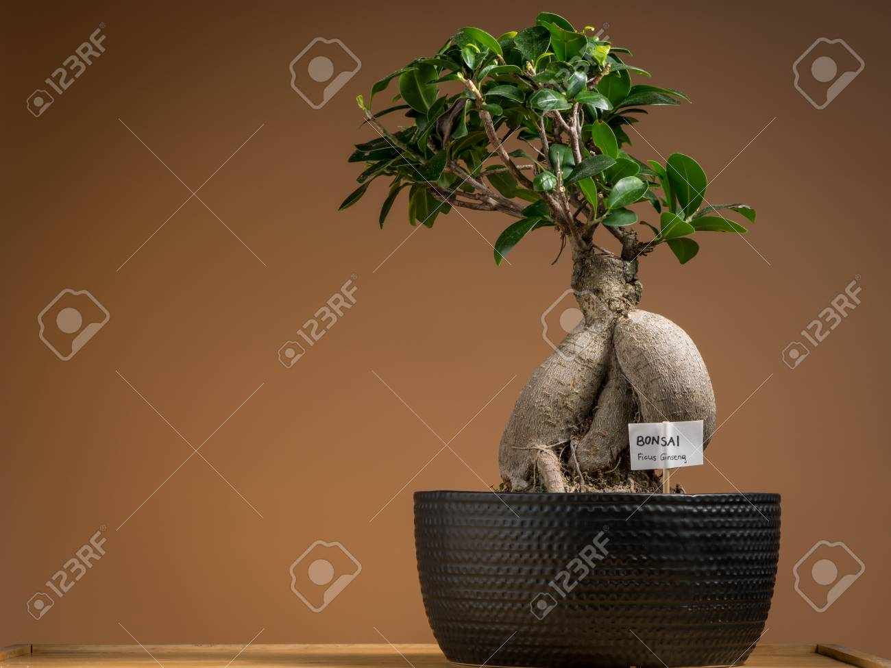 A Small Bonsai Ficus Tree Ficus Ginseng Planted In A Black Stock