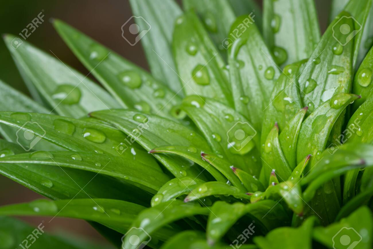 The Fresh Green Leaves Of A Tiger Lily After Rain With A Lot