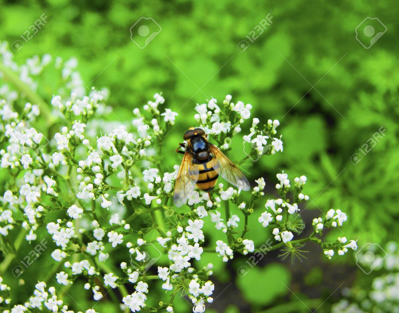 Bee collects pollen with flower Stock Photo - 14400300