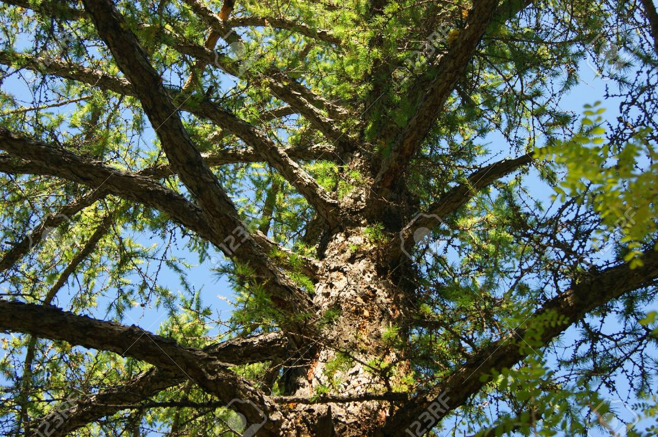 Conifer larch type from below year daytime - 131674362