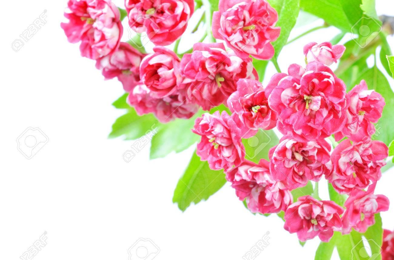 Isoliert Rosa Blume Rahmen Der Oberen Rechten Ecke Auf Weißem ...