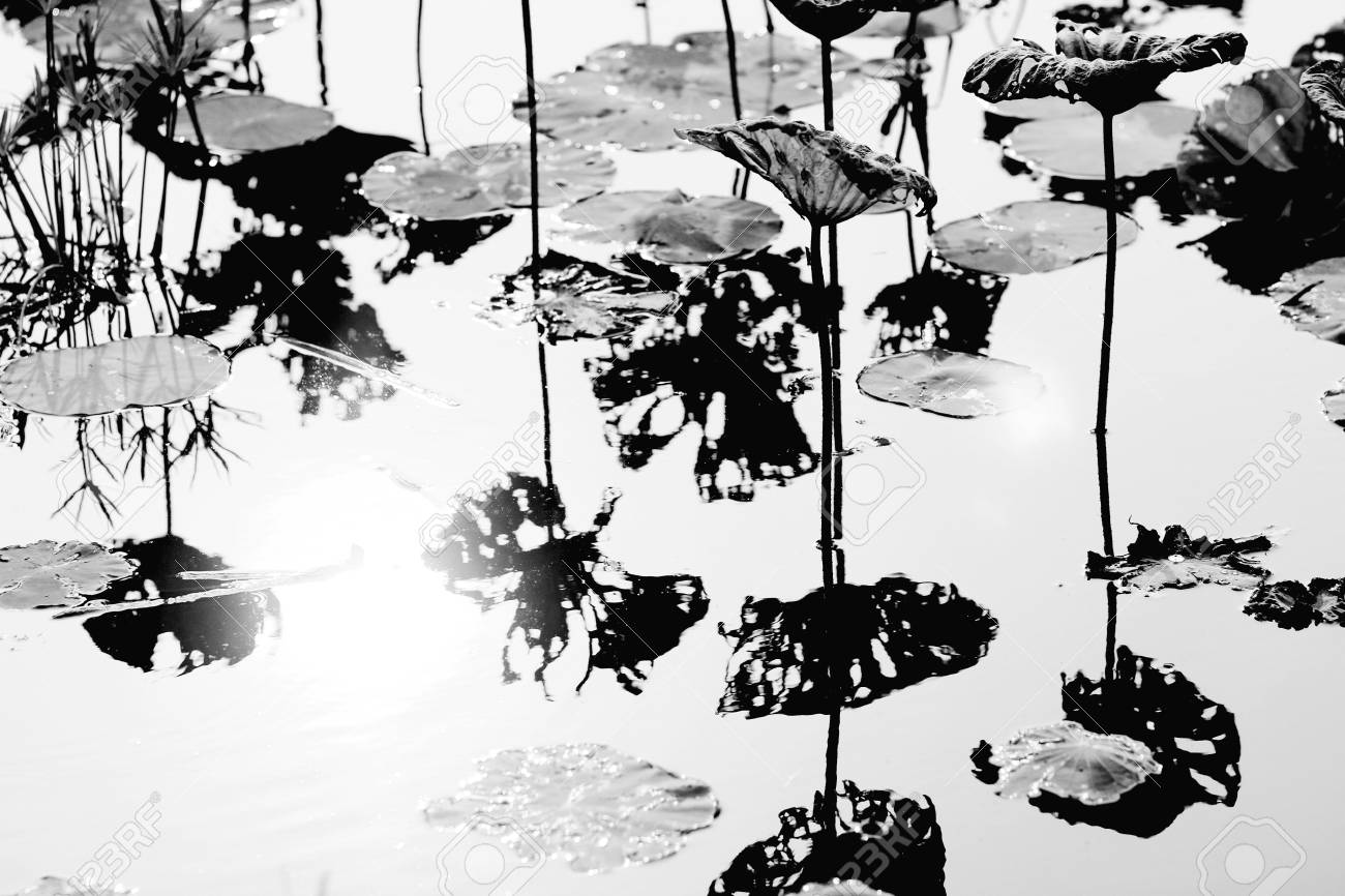 Frame Black And White Image Of A Lot Of Leaves Of Lotus Flower ...