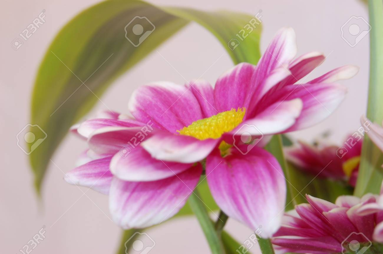 Some Pale And Deep Pinks Flowers Closeup Indoor Shot In A Vase