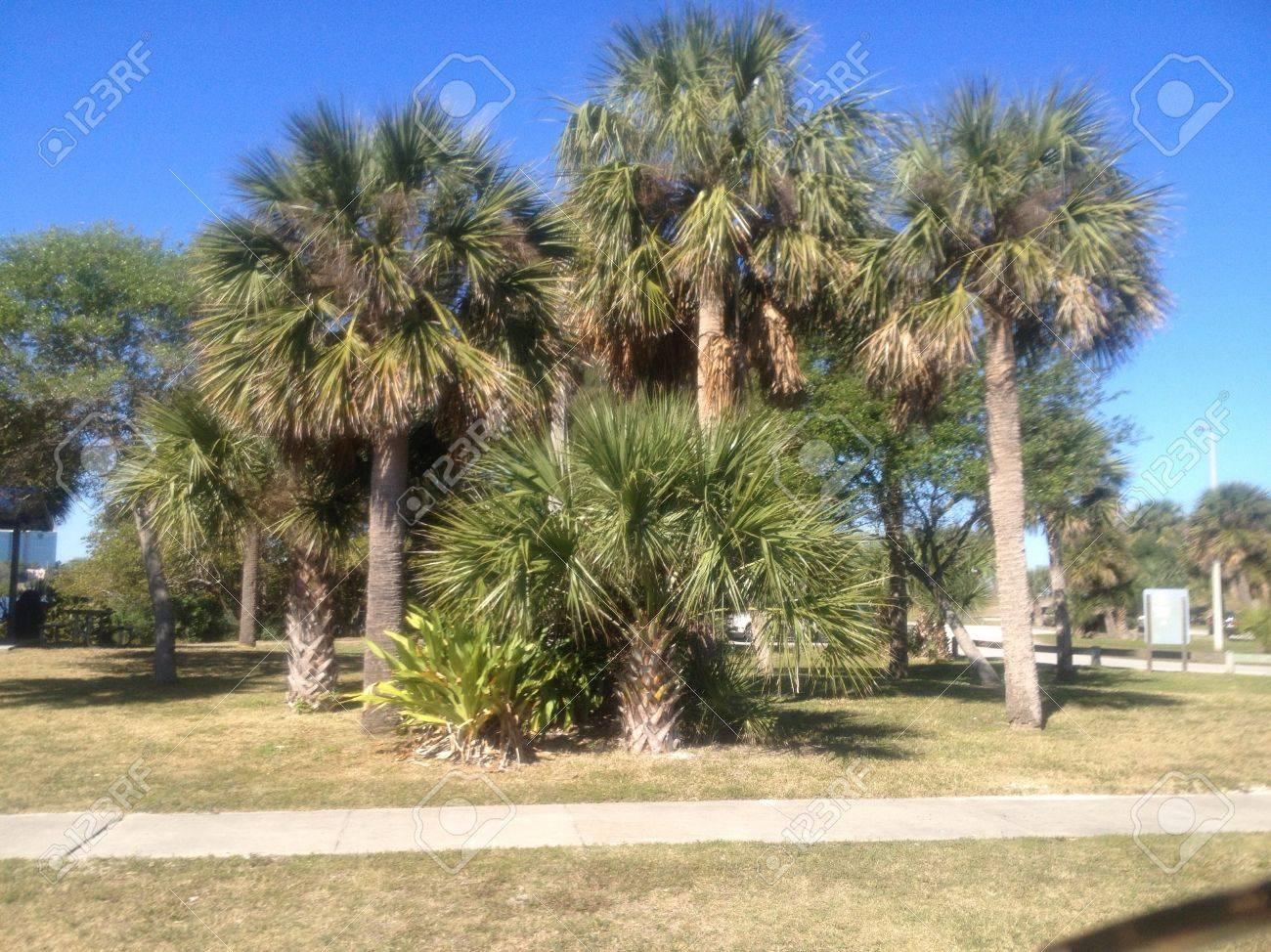 An Abundance Of Palm Trees In Cocoa Beach Florida Stock Photo