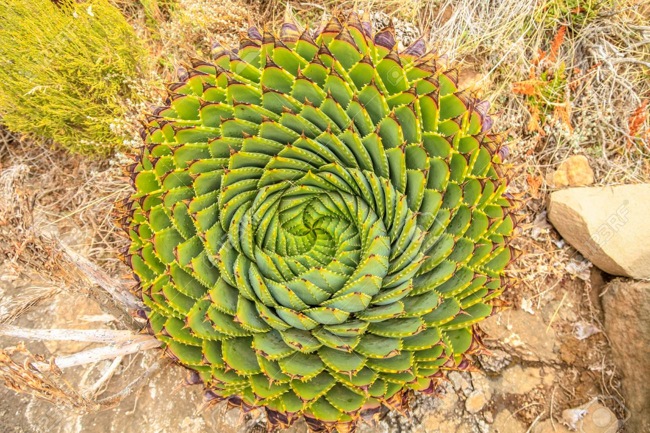 Spiral Aloe - Lesotho traditional plant - 100859807