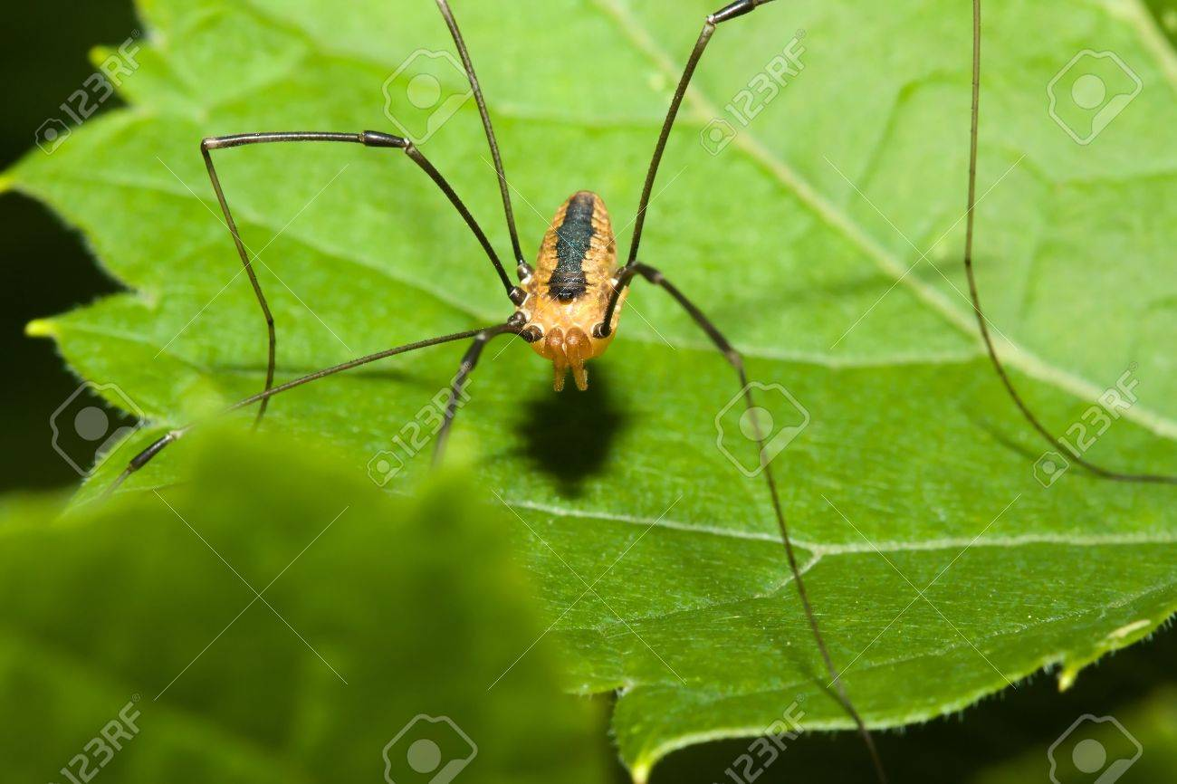 Harvestman spider standing on a tree leaf. Stock Photo - 5483661