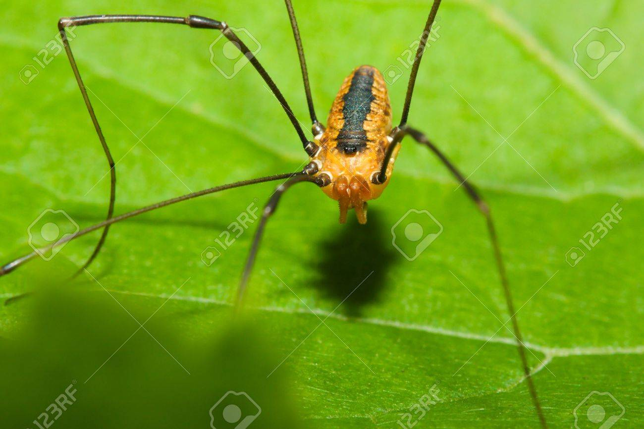 Harvestman spider standing on a tree leaf. Stock Photo - 5899323